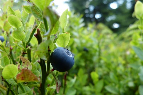 blueberry bilberry fruit