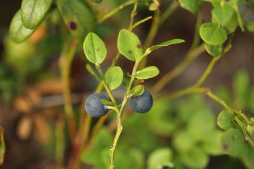 blueberry berry wild berry