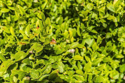 blueberry bushes bush green