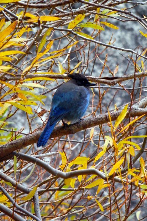 bluebird jay branches