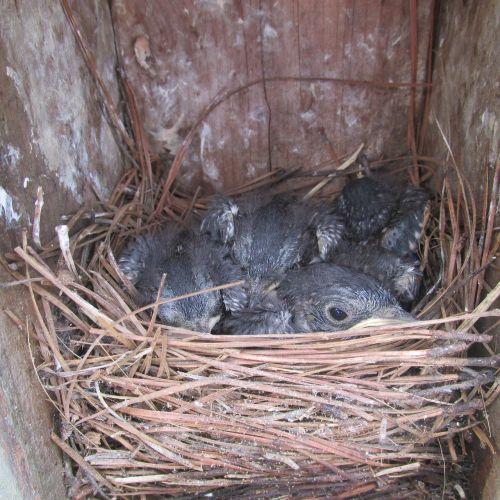 bluebird fledgeling nestling