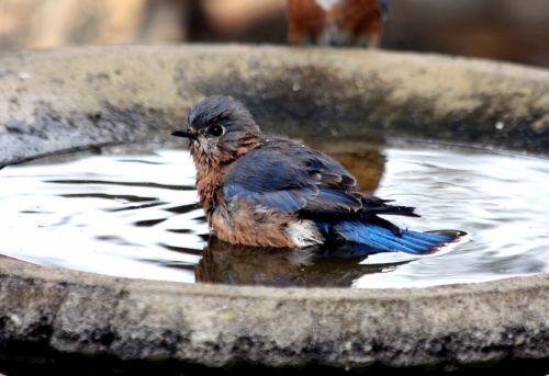 Bluebird In Bird Bath