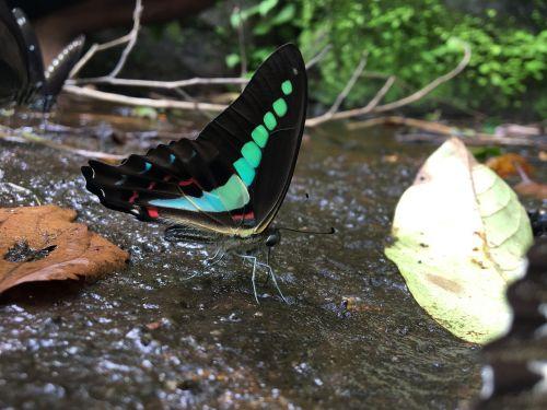 bluebottle butterfly western ghats