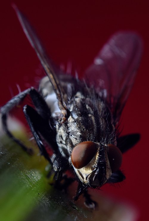 bluebottle  compound  fly