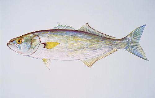 bluefish fishes animals
