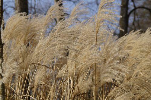 bluegrass reed marsh plant