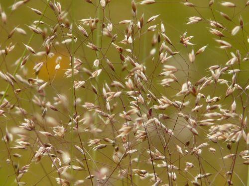 bluegrass grass meadow