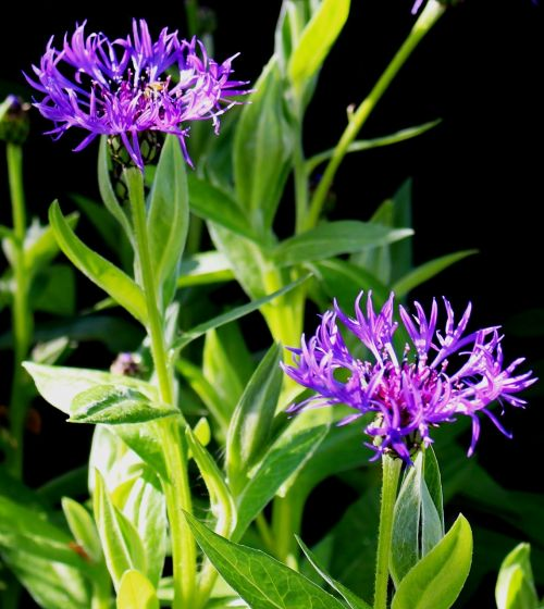 bluets composites violet