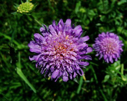 bluish-purple flower meadow wildflower nature