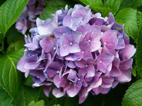 bluish-purple hydrangea garden summer flower