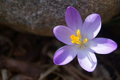 blume  krokus  lila