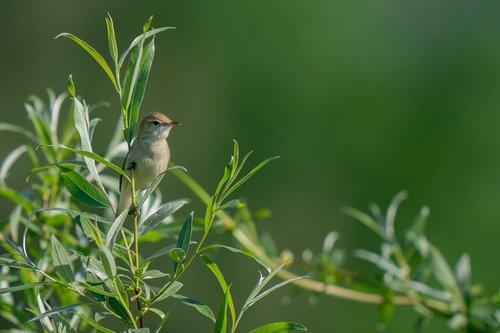 blyth's reed warbler  acrocephalus dumetorum  bird