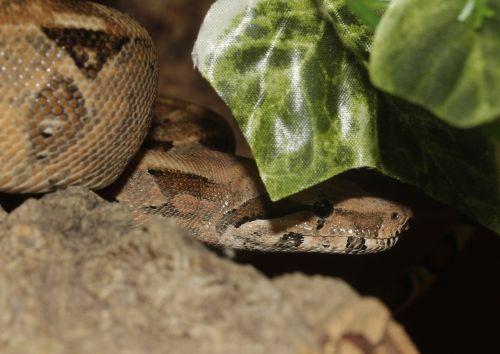 boa snake boa constrictor imperator