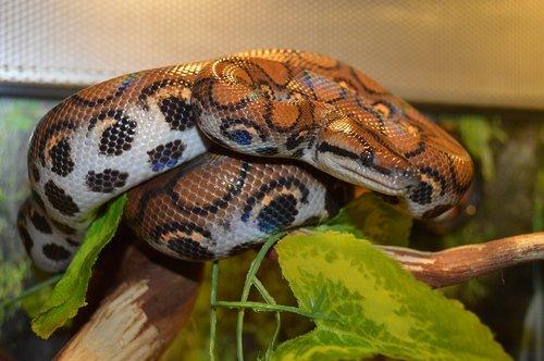 boa constrictor  snake  reptile