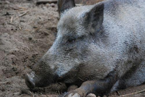 boar bristles rest