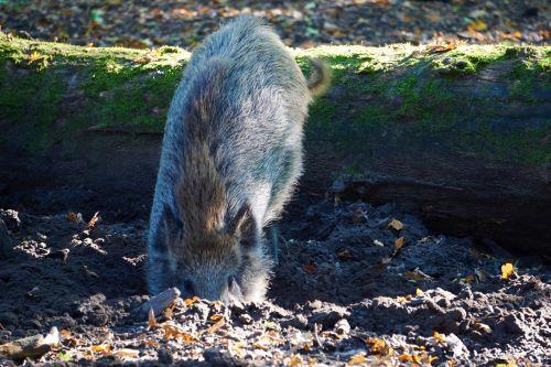 boar wild boar forest