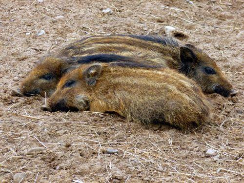 boar little pig three