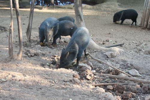 boar animal hog