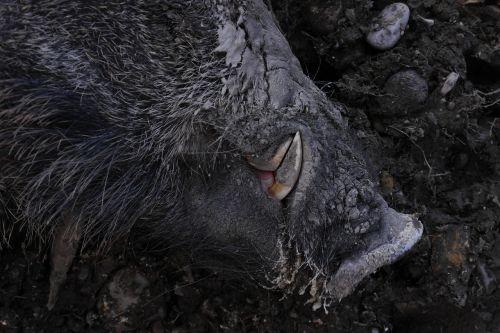 boar wild boar hauer