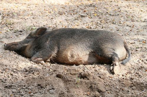 boar wild boar warburg
