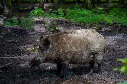 boar fur forest