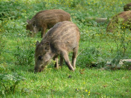 boar meadow piglet