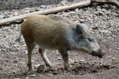 boar piglet launchy