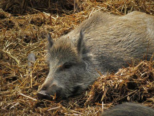 boar pig straw