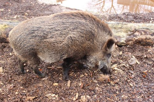 boar pig forest