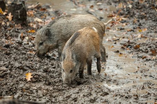 boar autumn rooting