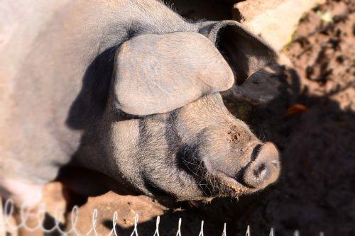boar animal nature