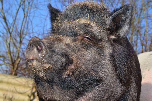boar wild boar miniature pig
