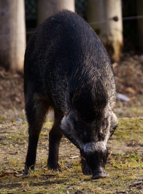 boar wild animal pig