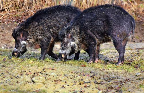 boar pig sow