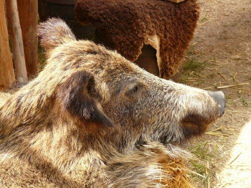 boar boar fell fur