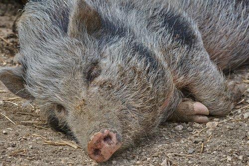 boar  sleep  nature