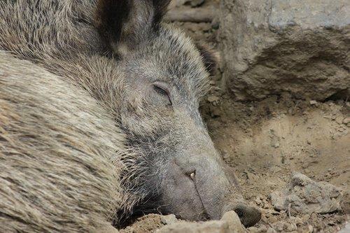 boar  pig  animal