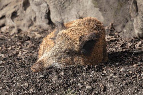 boar  animal  pig