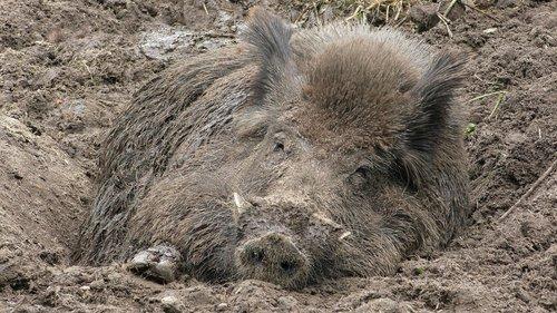 boar  wild boar  bristles