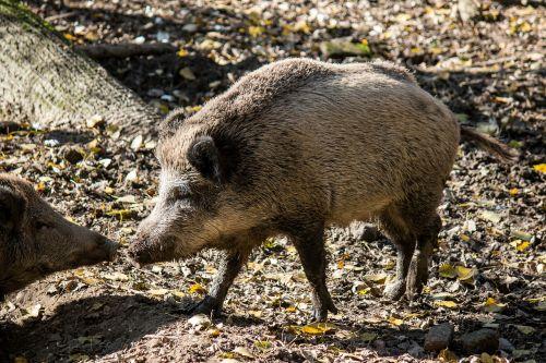 boar animals pig