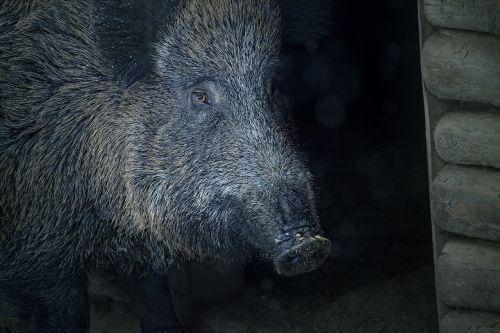 boar animal bristles