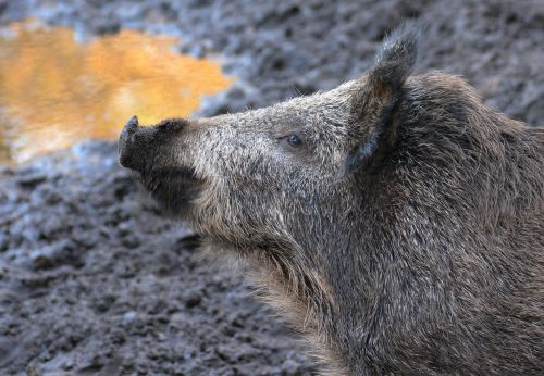 boar forest wild