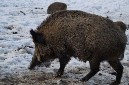 boar wild boar pig