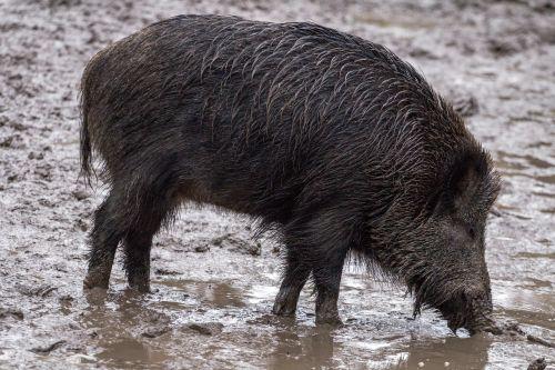 boar wild animals