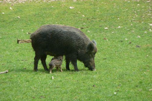 boar bache little pig