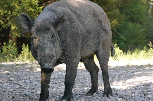 boar bache sow