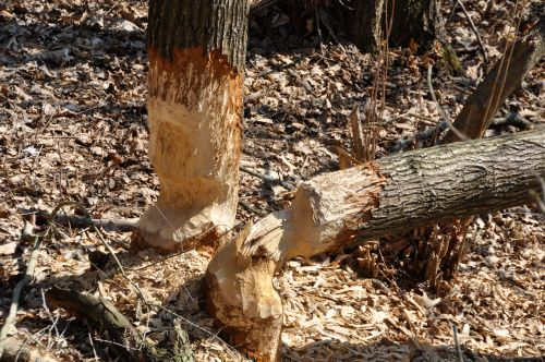 Beaver Work