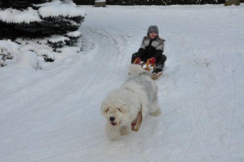 bobtail dog winter