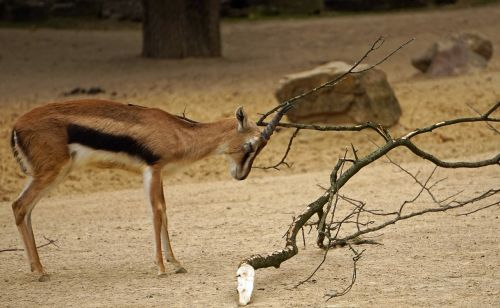bock springbok horned