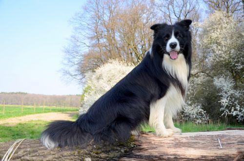 boder collie dog herding dog